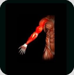 anatomie-biceps-haltere3